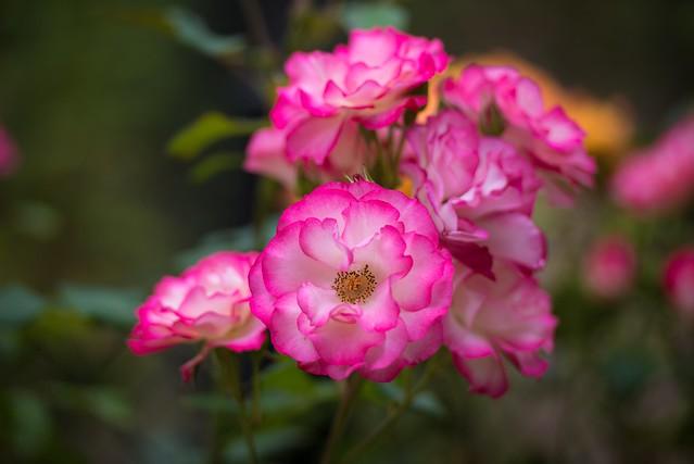 Обои макро, розы, лепестки картинки на рабочий стол, раздел цветы - скачать