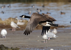 Canada Goose (Photos_By George) Tags: frenchcreek canadagoose bird waterfowl
