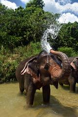 Bathtime (Worthing Wanderer) Tags: thailand krabi february elephant pachyderm spray trunk bath shower water sunny tropical