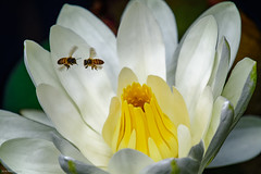 Flower and Bees - 121518 (r.rybicki) Tags: bee bug china dxo flower guangzhou southchinabotanicalgarden