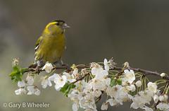 Siskin (Ponty Birder) Tags: g b wheeler garywheeler pontybirder finch wales birds carduelisspinus inexplore