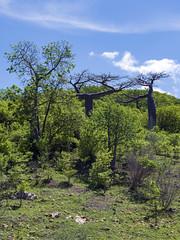 Baobabs / Баобабы (dmilokt) Tags: природа nature пейзаж landscape остров island деревня village dmilokt дерево tree green зеленый