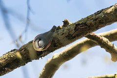 Nuthatch-6462 (WendyCoops224) Tags: 100400mml 80d canon eos localbirdswildlife springwatch ©wendycooper nuthatch
