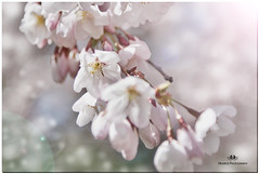 APRIL  2017-021233-22-222 (Nick and Karen Munroe) Tags: cherry cherryblossoms cherrytree cherryblossom blossoms bloom blooms blooming flowers flower flowering flowertown trees tree bokeh creamy macro closeup upclose karenick23 karenick karenandnickmunroe karenandnick munroe karenmunroe karen nickandkaren nickandkarenmunroe nick nickmunroe munroenick munroedesigns photography munroephotoghrpahy munroedesignsphotography nature landscape brampton bramptonontario ontario ontariocanada outdoors canada d750 nikond750 nikon nikon2470f28 2470 2470f28 nikon2470 nikonf28 f28 nikon70200f28 nikon70200 70200 70200f28 colour colours color colors