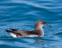 Puffinus huttoni (ftbirds) Tags: forster nsw australia barry m ralley barrymralley pelagic bird species great lakes region puffinus huttoni huttons shearwater