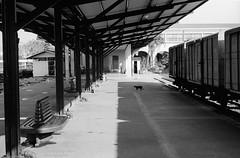 Caution...black cat (Drehscheibe) Tags: station bahnhof blackwhite classicblackwhite ilfordmicrophendeveloper nikonf2 nikkor50mm 35mm film hp5plus explore platform bahnsteig