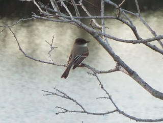 Eastern Phoebe, March 25, 2019, Bethany Lakes Park, Allen, Texas