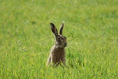 Hare in a Norfolk field (hedgehoggarden1) Tags: hare field mammal animal creature nature wildlife sonycybershot eastanglia norfolk uk sony