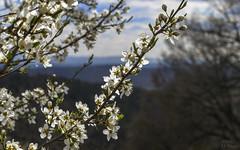 First Cherry tree blossoms (KF-Photo) Tags: tübingen heuberg blüten kirschbaum kirschbaumblüten 1610 cherrytree cherryblossoms