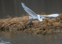 Great Egret 2 (EHPett) Tags: rockyneckstatepark niantic connecticut connecticutbirds connecticutwildlife greategret casmerodiusalbus marsh flying water nature