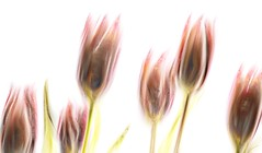 Tulips .. (Julie Greg) Tags: art colours texture canon abstract flower flowers