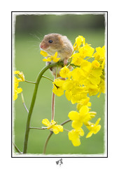 Harvest Mouse on Rape 2 (linnaeus43) Tags: harvestmouse micromysminutus wildlife rodents britishwildlife
