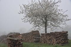 Brouillard printanier_2 (Excalibur67) Tags: nikon d750 sigma globalvision art 24105f4dgoshsma paysage landscape brouillard fog arbre tree printemps spring frühling bois floraison