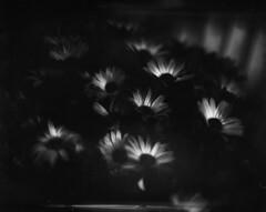 Cape daisies 1 (Vidwatts) Tags: springflowers speedgraphic aeroektar fujiacros100 perceptol11