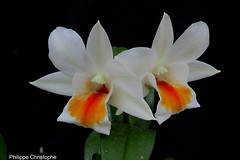 Dendrobium Dawn Maree (ban-soraya) Tags: dendrobium dawn mare