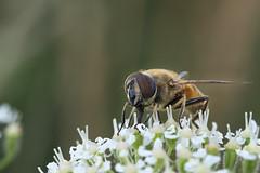 Schwebfliege (Mistbiene) / Drone fly (Eristalis tenax) (uwe125) Tags: tiere insekten insect schwebfliege macro mimikry