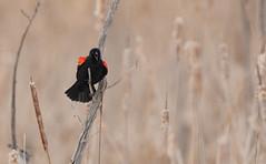 Carouge à épaulettes // Red-winged Blackbird (Alexandre Légaré) Tags: carouge à épaulettes redwinged blackbird agelaius phoeniceus oiseau bird animal wildlife nature nikon d7500 marais swamp sherbrooke stfrancois realdcarbonneau