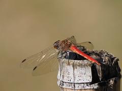 AIRCRAFT (Dinasty_Oomae) Tags: 東京都 東京 tokyo 大田区 otaku トンボ 蜻蛉 dragonfly オリンパス olympus olympusomd olympusem1 omd em1 昆虫 insect