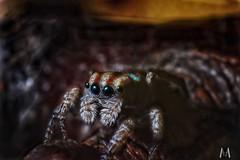 Maratus volans (SuzieAndJim) Tags: suzieandjim portrait nature spider peacockjumpingspider jumpingspider volans maratus