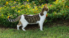 2015-09-20_16-41-11_ILCE-6000_DSC00246 (Miguel Discart (Photos Vrac)) Tags: 2015 84mm animal animalphotography animals animalsupclose animaux cat cats chat chats colakli e1670mmf4zaoss focallength84mm focallengthin35mmformat84mm holiday hotel ilce6000 iso100 kamelya kamelyaworld nature naturephotography pet sony sonyilce6000 sonyilce6000e1670mmf4zaoss summer turkey turquie vacance vacation
