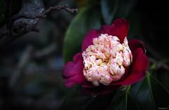camellia (Christine_S.) Tags: macro japan camelliatinsie flower blossom rare unusual olympus outdoor garden omd 月光椿 がっこう moonlightcamellia ngc npc