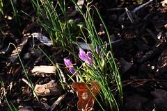 DSC_2483 Crocus (PeaTJay) Tags: nikond750 sigma reading lowerearley berkshire macro micro closeups gardens indoors nature flora fauna plants flowers crocus