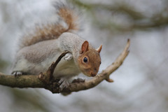 cute and curious (karina Novakova) Tags: squirrel squirrels bokeh looking curious nature mammal cute animal animals