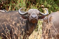 Still staring (ralf galloway) Tags: tanzania safari 2018 buffalo