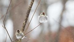 Light as a feather! (Redpoll) ((nature_photonutt) Sue) Tags: redpollinwinter bird ouryard ironbridgeontariocanada