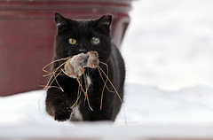 Mama Kitty With a Present For Me. (AmyEHunt) Tags: cat kitty feline feral domestic animal nature naturephotography snow winiter illinois mouse eyes canon