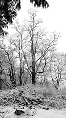2019-02-08 Grand View Cemetery (05) (B&W) (1150x2048) (-jon) Tags: anacortes fidalgoisland sanjuanislands skagitcounty skagit washingtonstate washington cemetery grandview grandviewcemetery blackandwhite bw snow snowing winter tree branches severe stark contrast graveyard a266122photographyproduction landscape canonpowershotelph180