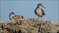 Bonne fête Valentine ! (Armelle85) Tags: extérieur nature oiseau chevaliergambette faune marais lagune