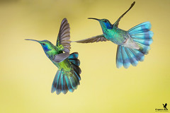 Flight of the Violet-ears (Osprey-Ian) Tags: quintagaleonlodge lesservioletear costarica