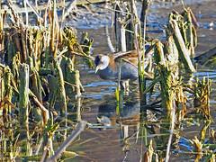 Polluela bastarda (Porzana parva) (1) (eb3alfmiguel) Tags: aves acuaticas gruiformes rallidae polluela bastarda porzana parva
