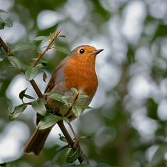 Robin in the garden (smithadam830) Tags: robin bird birds birdphoto d5600 sigma tree red wild wildlife small hungerford