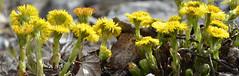 "Tussilage : ""Filius ante patrem"" (RarOiseau) Tags: tussilage fleur alpesdehauteprovence lamotteducaire nature jaune yellow flower saariysqualitypictures"