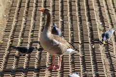 Greylag Goose (Ashley Middleton Photography) Tags: coatewatercountrypark swindon animal bird england europe goosegeese greylaggoose unitedkingdom wiltshire