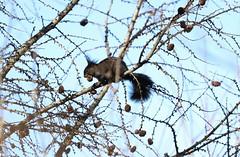 Eichhörnchen (Manuel-B) Tags: wald forest eichhörnchen wildlife canon eos 80d frühling spring squirrel