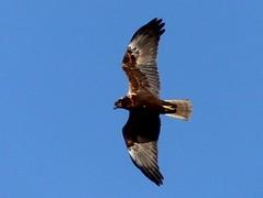 imm m Marsh Harrier 7.3.19 (ericy202) Tags: immature male marsh harrier blue sky