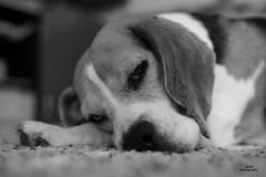 Beagle life (adi_stoica2001) Tags: sonya7m2 minoltamcrokkorpf50mmf17 beagle dog blackandwhite bw bokeh rokkor rayqual