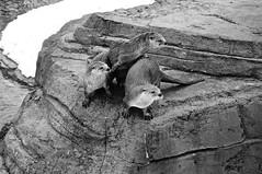Loutres de rivière/River Otter (bob august) Tags: 2019 2019©rpd'aoust animals animaux canada d90 fauneanimalière hiver loutrederivière march mars montréal nikkor18300mm nikon nikond90 riverotter winter zoo zooecomuseum montréal québec