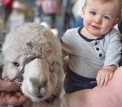 ❤️ (Melinda G Pix) Tags: animal farm alpaca baby
