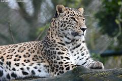 Persian leopard - Safaripark Beekse Bergen (Mandenno photography) Tags: animal animals dierenpark dierentuin dieren ngc nature nederland netherlands natgeo natgeographic safari safaripark park beekse bergen beeksebergen bigcat big cat cats leopard leopards persian persianleopard