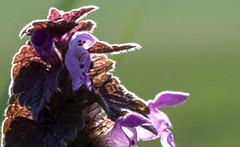 Le petit bonhomme (Jean-Luc Chassot - Cugy(FR)) Tags: macro fleur switzerland tamron nikon d7500