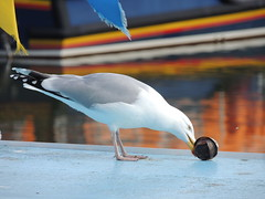 Plastic Peck (Glass Horse 2017) Tags: nyorks whitby featheryfriday birds gull herringgull fishingboat plastic probing pecking flag orangeandblue