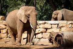 African elephant III (Cataphract) Tags: elephant loxodontaafricana safari zoology
