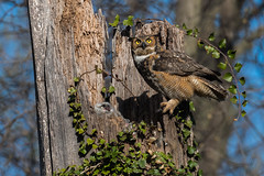 """""""Hush Now...Mamma's Here"""" (rob.wallace) Tags: spring 2018 raptor great horned owl owlets"""