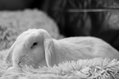Marble snoozing (daveseargeant) Tags: rabbit marble bunny sleeping settee medway rochester nikon df 50mm 18g monochrome white black