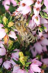 Welcome Sight (Roy Lowry) Tags: honeybee bee garden apismellifera