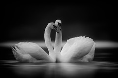 'The Two of Us' (Jonathan Casey) Tags: swan black white mute norfolk broads broad uk whitlingham courting mating nikon dance d850 400mm f28 vr